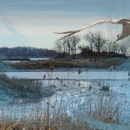 Gull in Algonquin Mist 12/20/2012