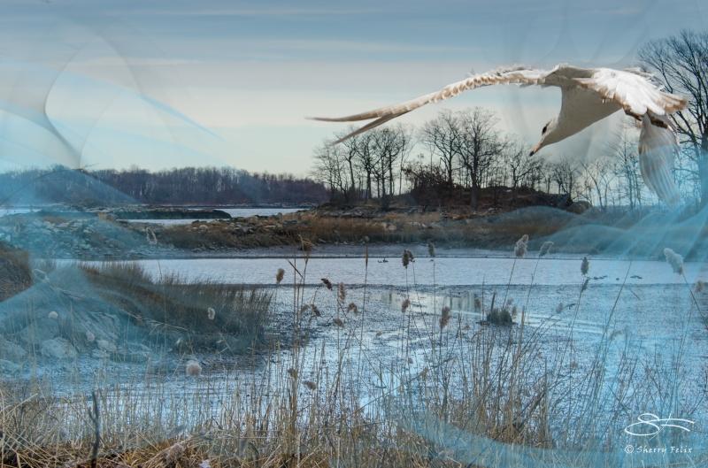 Gull in Algonquin Mist