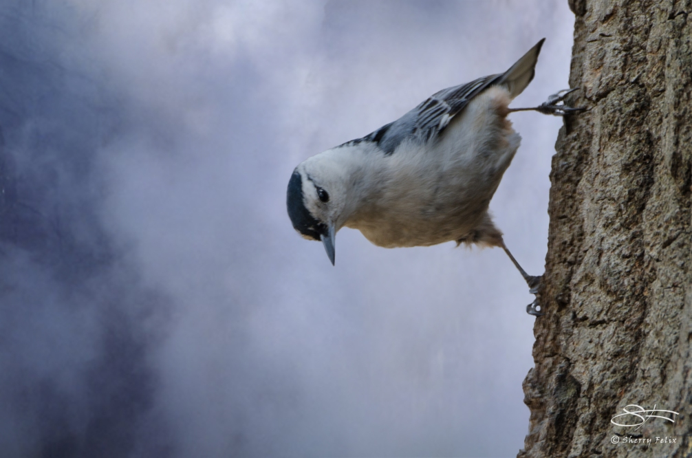 Bold White Breasted Nuthatch, Central Park 20130409
