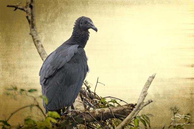 Black Vulture on Gold, Boquete, Panama 5/24/2014