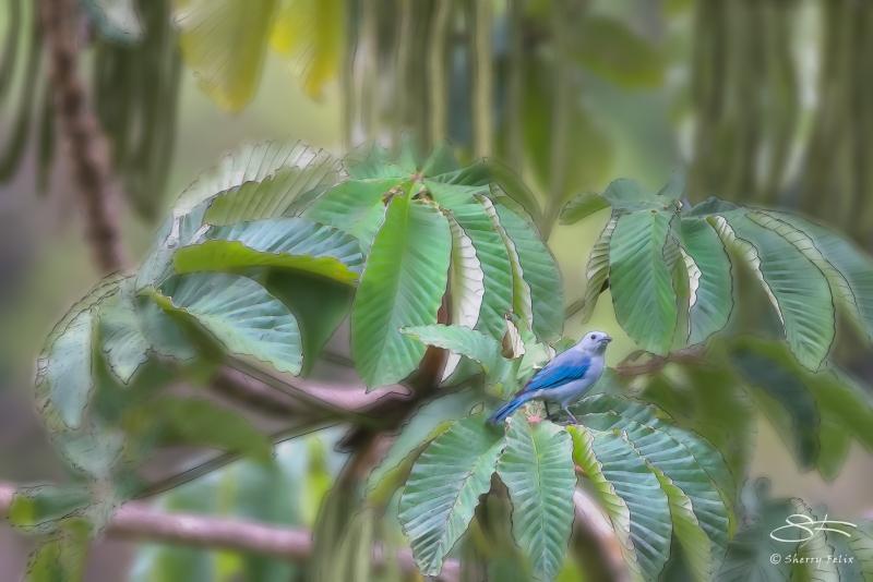 Cecropia and Blue-grey Tanager, Bajo Mano, Boquete, Panama 5/28/2014 v2