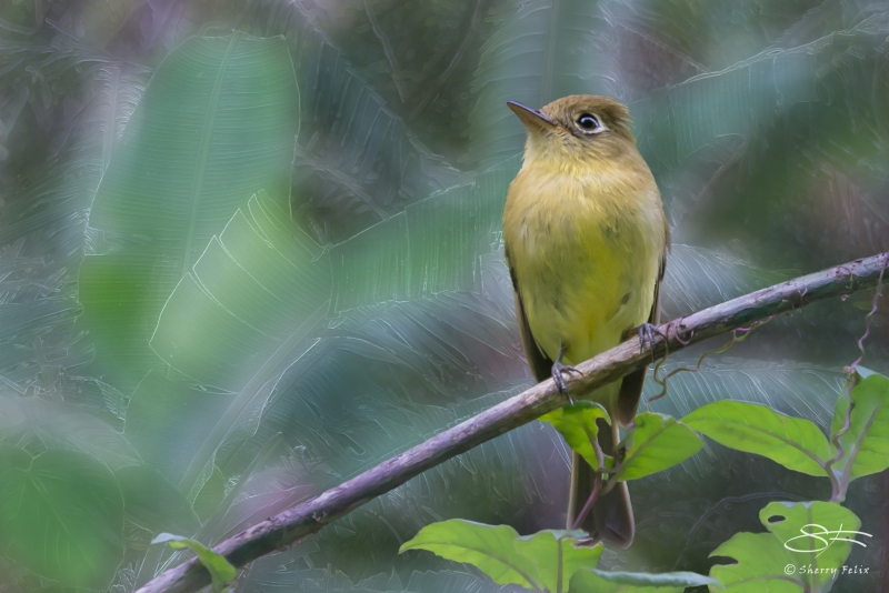Yellowish Flycatcher (Empidonax flavescens), Boquete, Panama 20140529