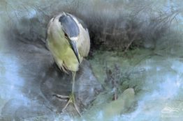 Black-crowned Night Heron (Nycticorax nycticorax), Central Park, NYC 20140729