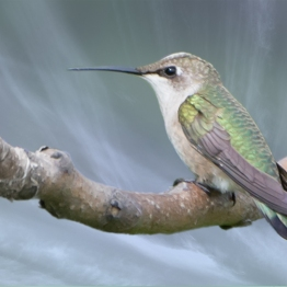 Ruby-throated Hummingbird, Jamaica Bay 8/16/2014