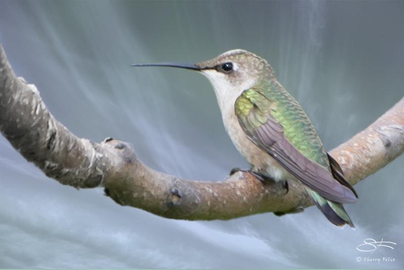Ruby-throated Hummingbird, Jamaica Bay 8/16/2014