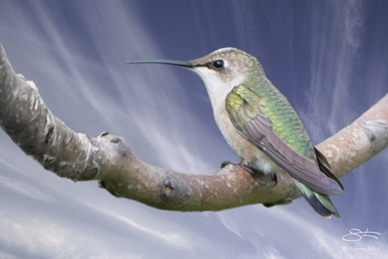 Ruby-throated Hummingbird 8/16/2014 rev