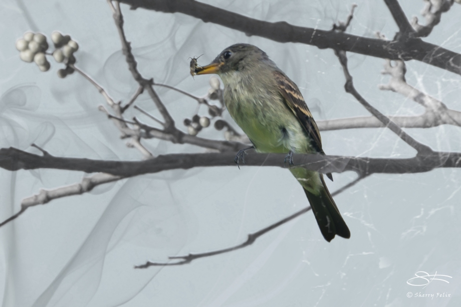 Eastern Wood Pewee enmeshed with bug, Central Park 10/2/2014