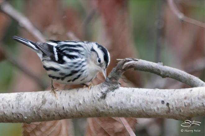 Black-and-white Warbler, Jamaica Bay 10/9/2014