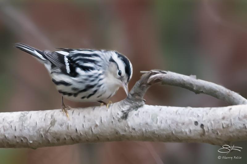 Black-and-white Warbler (Mniotilta varia), Jamaica Bay 10/9/2014 v2