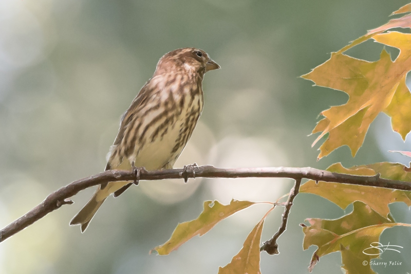 Purple Finch, Central Park 10/14/2014