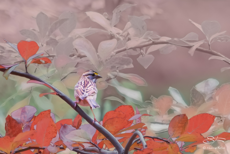 White -throated Saprrow with Red Leaves, Central Park 10/21/2014 v2