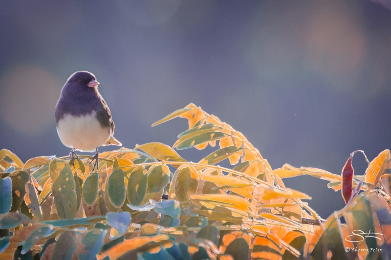 Dark-eyed Junco, Central Park 10/28/2014