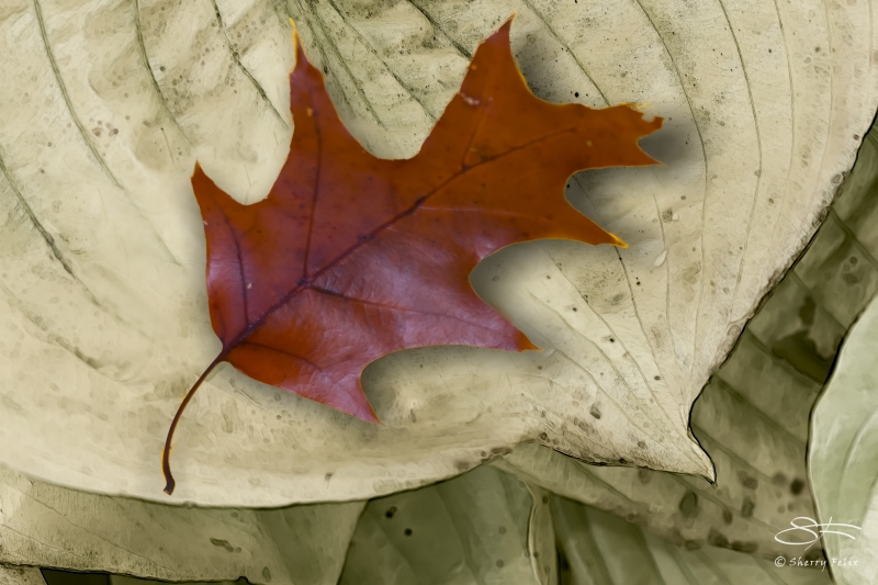 Red Oak Leaf, Central Park 11/9/2014 v2