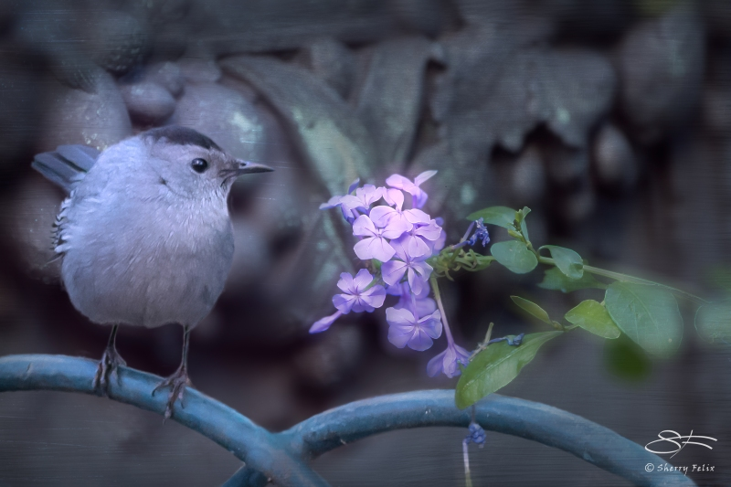 Grey Catbird, Bryant Park 11/16/2014 rev