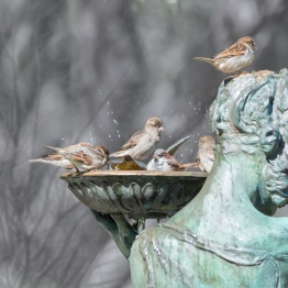 House Sparrows Bathing, Conservatory, Central Park 10/5/2014