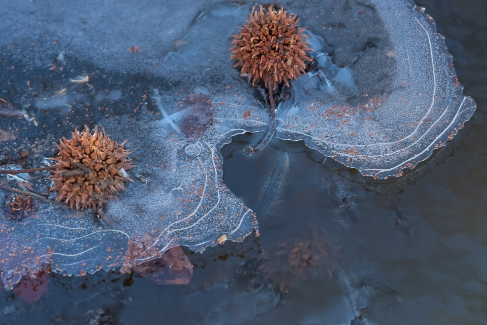 Sweetgum in Ice, Central Park 1/13/2015