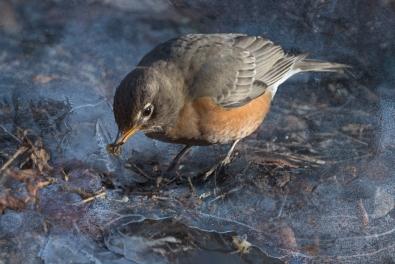 American Robin, Central Park 1/13/2015