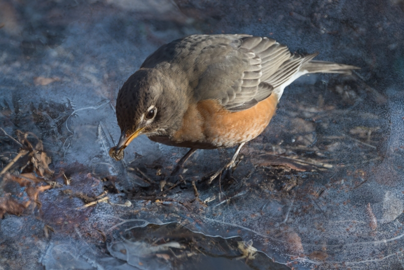 American Robin, Central Park 1/13/2015