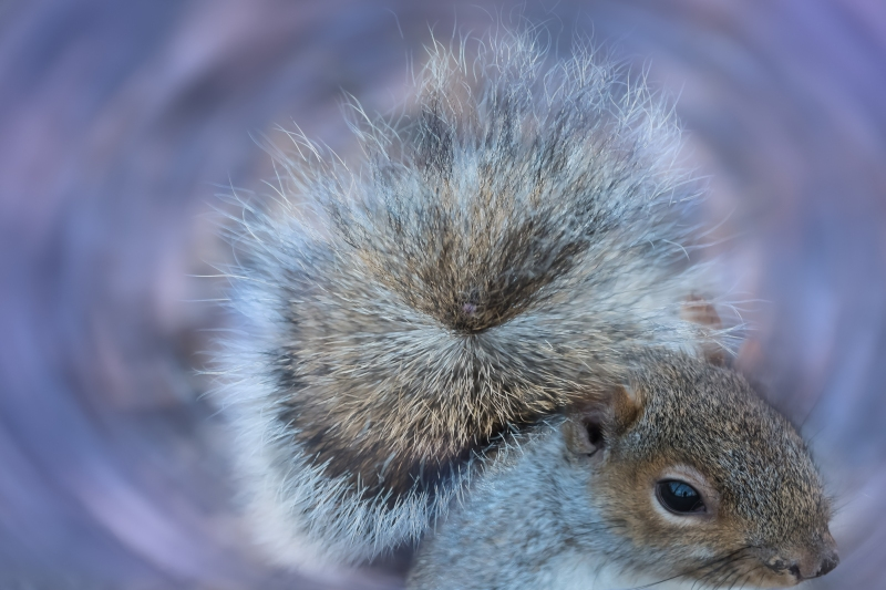 Squirrel Swirl, Central Park 1/13/2015