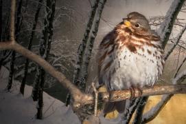 Fox Sparrow, Central Park 1/28/2015