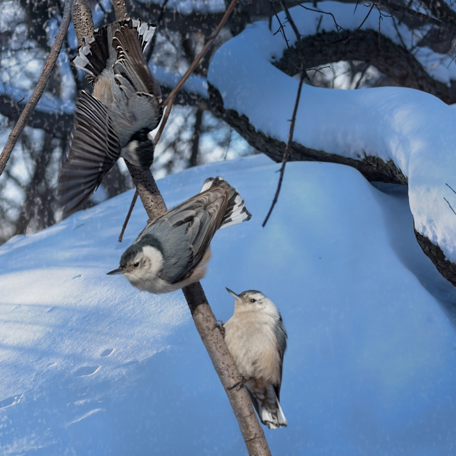 White Breasted Nuthatches, Central Park 1/28/2015