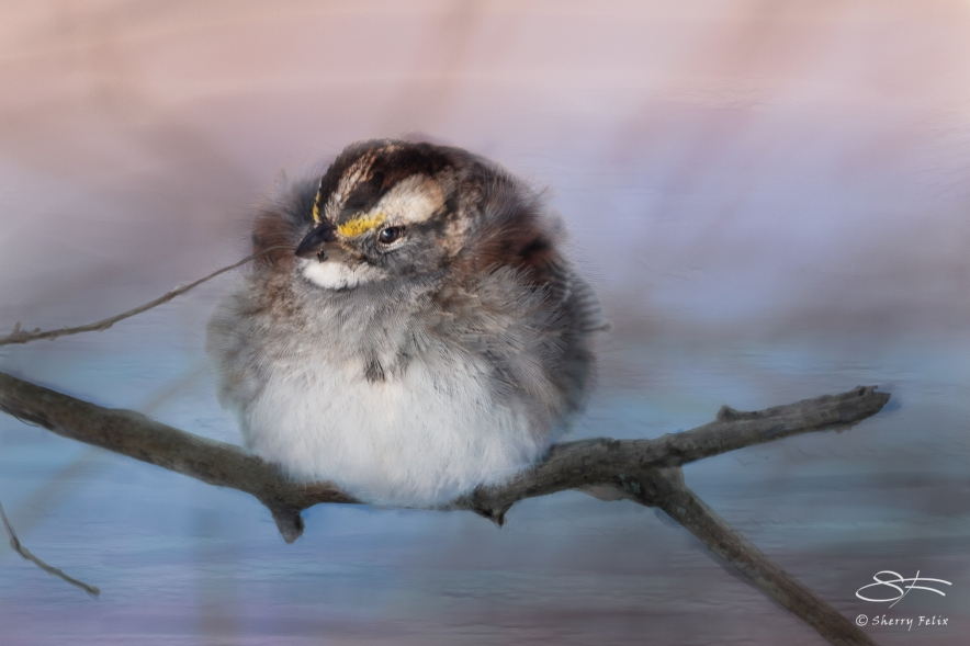 White-throated Sparrow, Central Park 1/28/2015