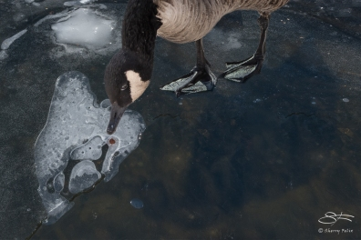 Canada Goose on Thin Ice, Central Park 2/28/2015