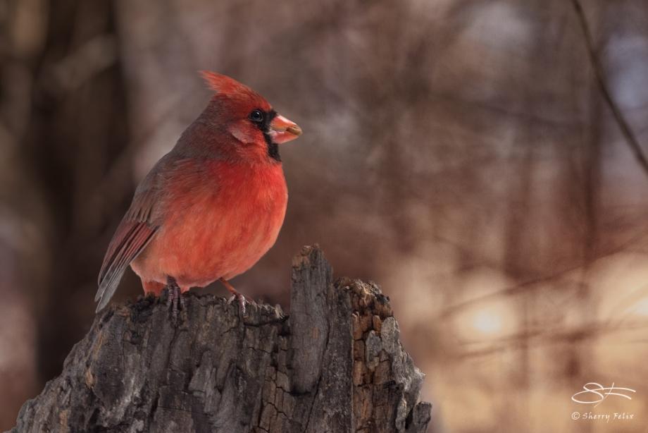 Cardinal with a Treat, Central Park 2/28/2015