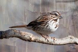 Fox Sparrow, Central Park 3/24/2015