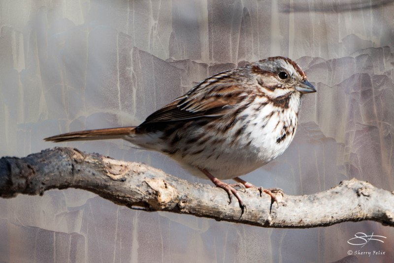 Song Sparrow, Central Park 3/24/2015