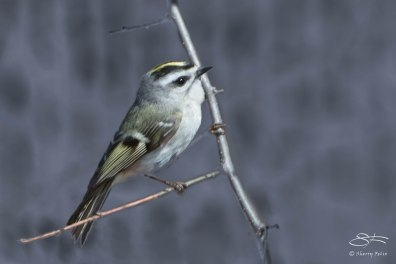 Golden-crowned Kinglet, Central Park April 5, 2015