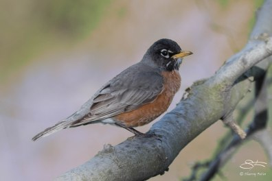 American Robin in the Ramble, Central Park April 18, 2015