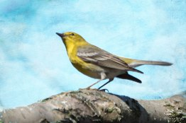 Pine Warbler in a tree at Turtle Pond, Central Park April 18, 2015