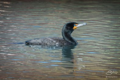 Double-crested Cormorant at Turtle Pond, Central Park April 18, 2015