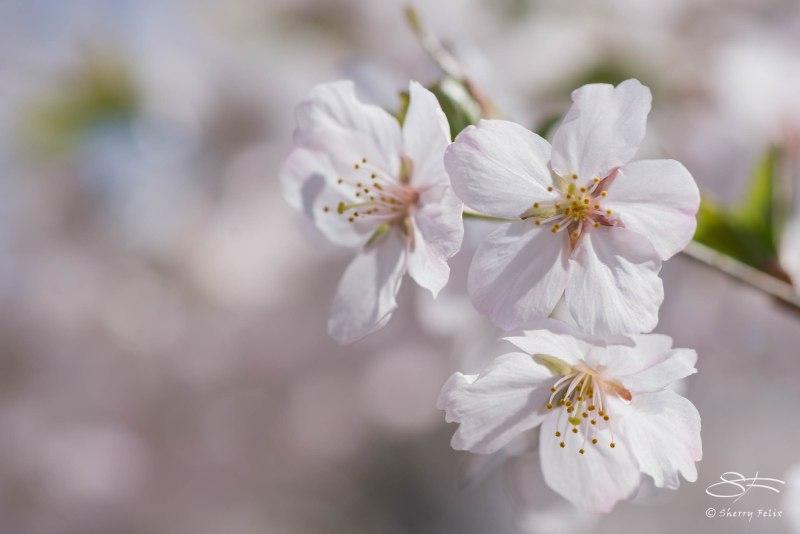 White Blossoms, Central Park April 18, 2015