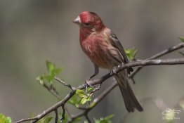 Very bright Male House Finch, Ramble, Central Park April 18, 2015