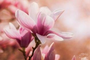 Magnolias, Central Park April 18, 2015