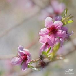 Peach, Central Park 4/26/2015
