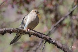 Mourning Dove, Central Park 4/26/2015