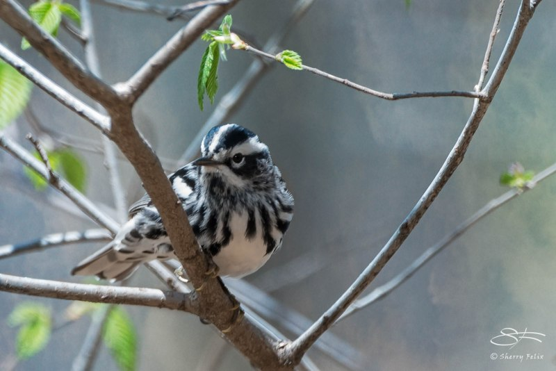 Black and White Warbler, Central Park 4/26/2015