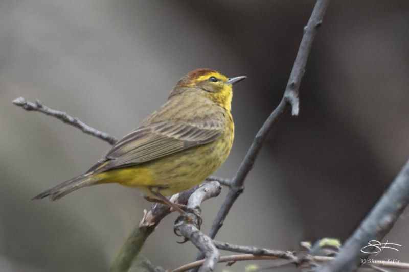 Palm Warbler, Central Park 4/28/2015
