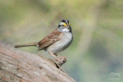 White-throated Sparrow, Central Park 4/28/2015