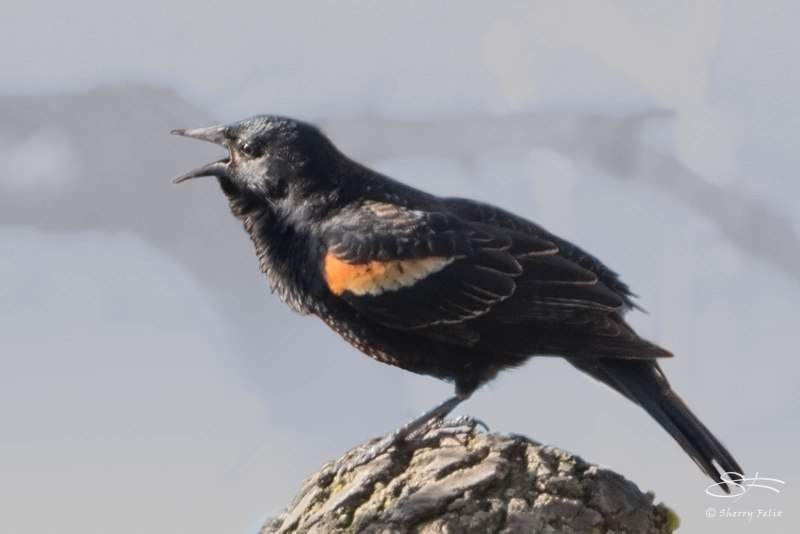 Red-winged Blackbird, Central Park 4/28/2015