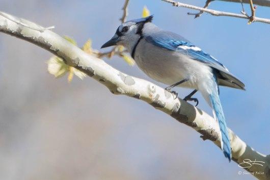 Blue Jay, Central Park 4/28/2015