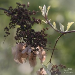 Hydrangea Seeds and Shoots, Central Park 04/28/2015