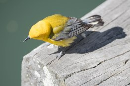 Prothonotary Warbler, Central Park 4/28/2015