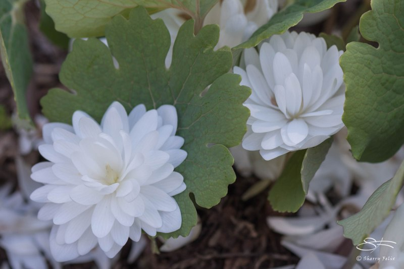 Double-flowered Bloodroot (Sanguinaria canadensis forma multiplex), NYBG 4/29/2015
