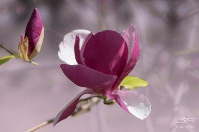 Magnolia Lennei (Magnolia x soulangeana), NYBG 4/29/2015