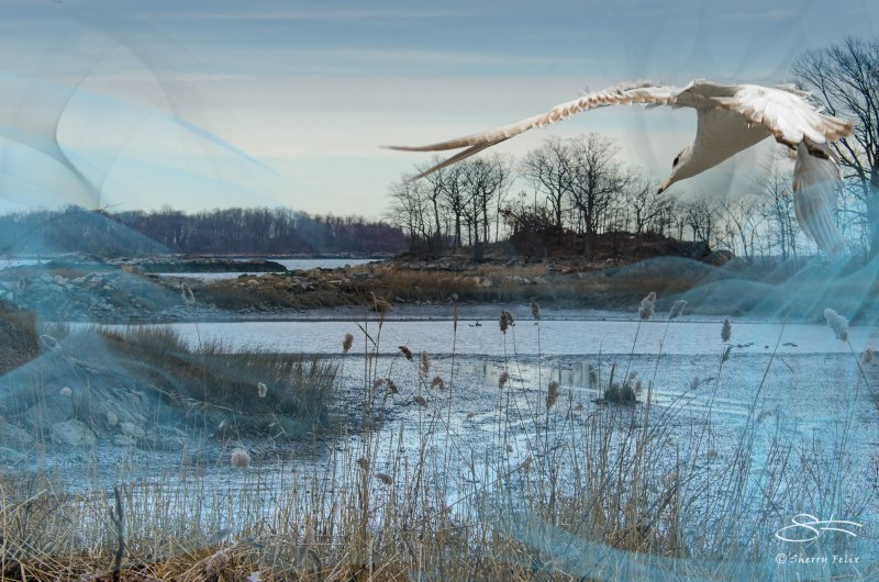 Gull in Algonquin Mist 1/28/2013