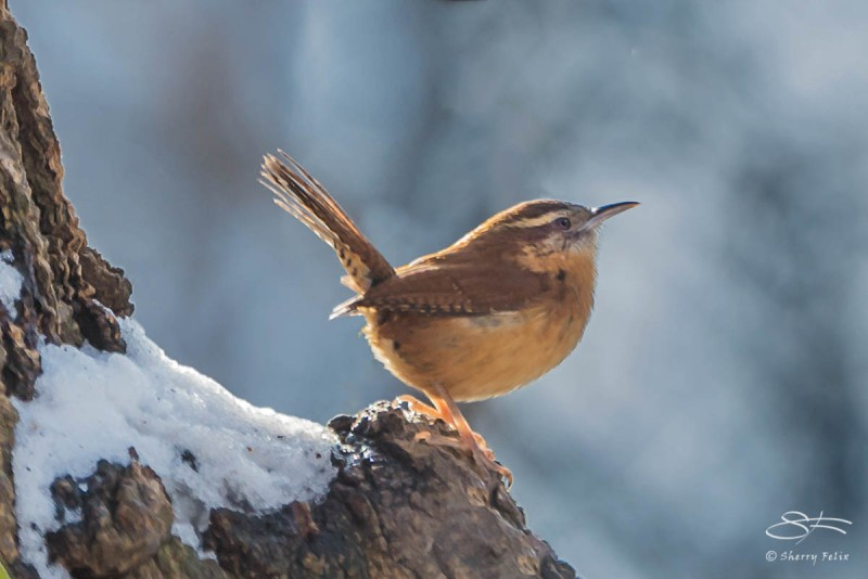 Carolina Wren, Central Park 12/19/2013 sf 19v2